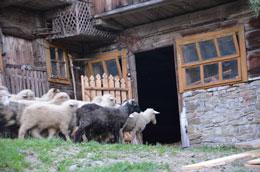 Pasterstwo w Gorcach